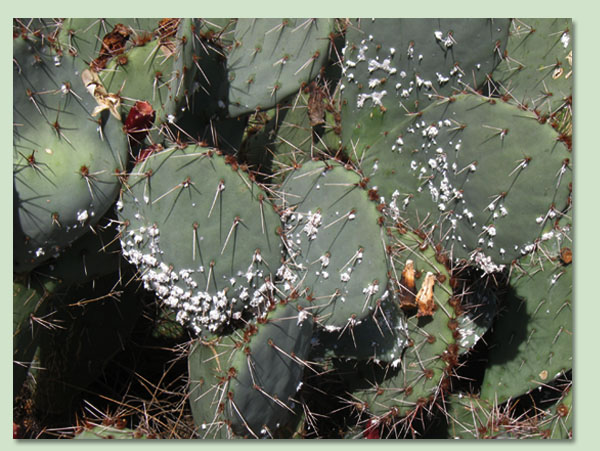 Cochineal Eradication | Mealybug Scale