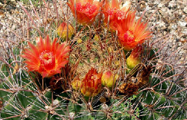 cactus flower for sale